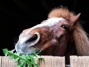 Pferd mit Löwenzahn